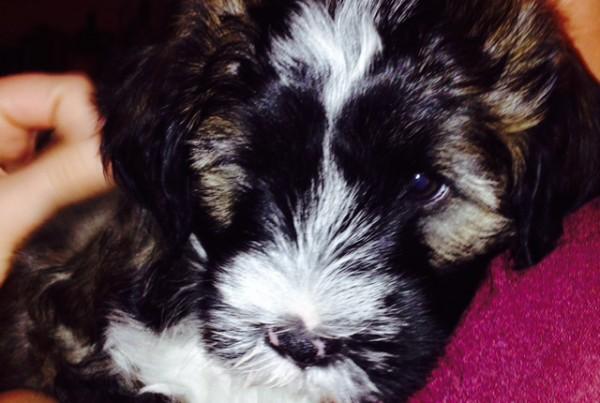 Harley (Jazzy) Sable Male @ 8 weeks