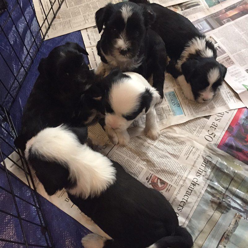 Pups@ 5 Weeks