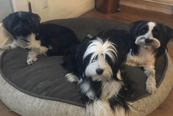 Three Generations Tibetan Terriers
