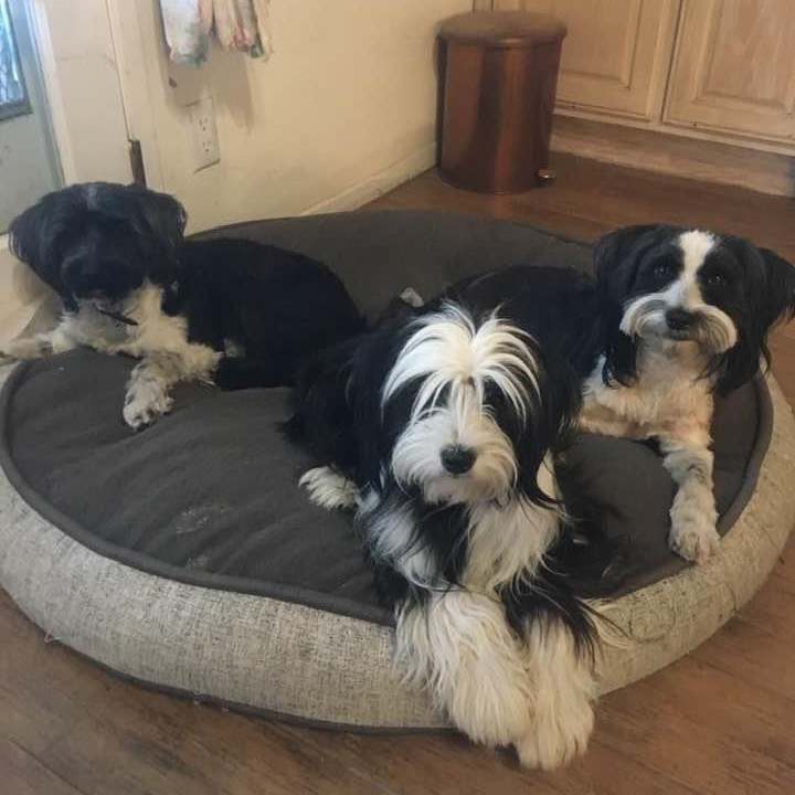 Three Generations Tibetan Terriers
